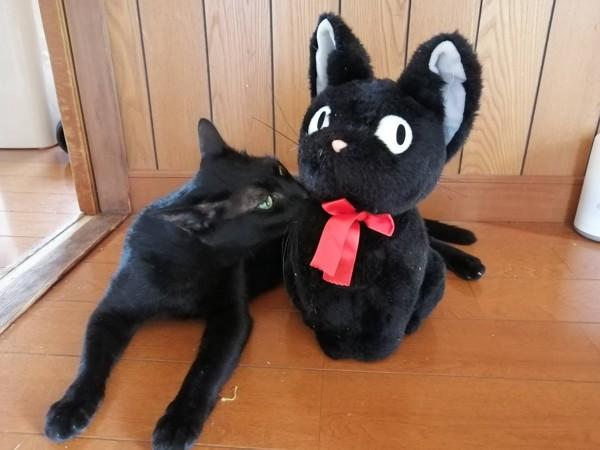 猫 黒猫 キキの写真