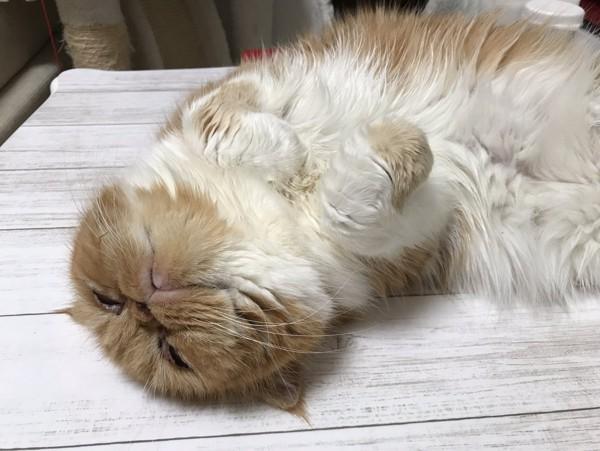 猫 エキゾチックショートヘア 豆福の写真