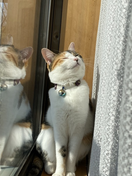 猫 三毛猫 ちーちゃんの写真