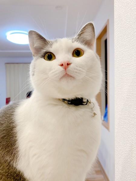 猫 マンチカン あんこの写真