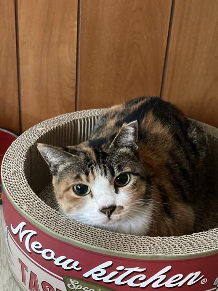 猫 三毛猫 eyeの写真