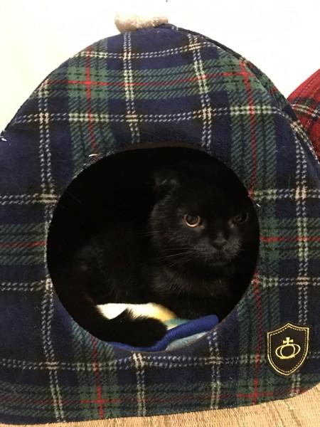 猫 スコティッシュフォールド モモタの写真