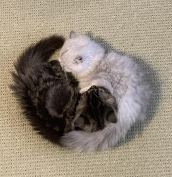 猫 ミヌエット 小鉄の写真