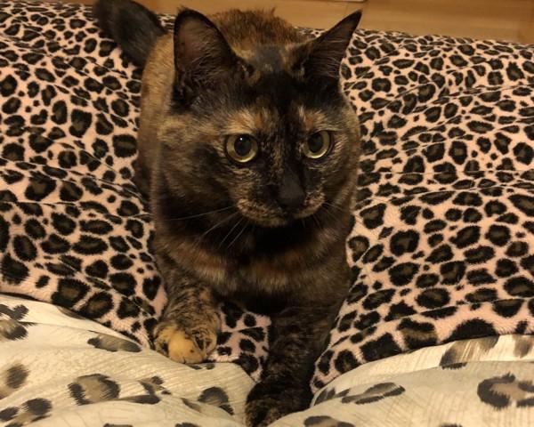 猫 サビ猫 ポンちゃんの写真