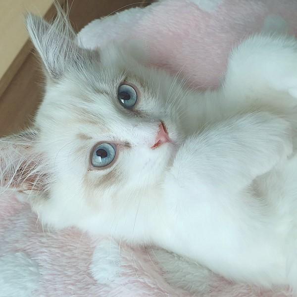 猫 ラグドール トトの写真