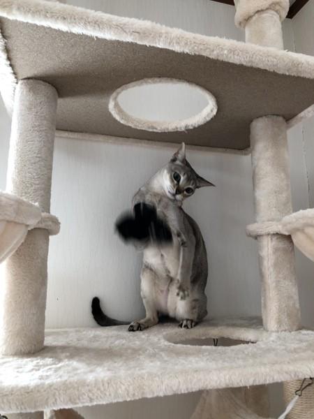 猫 シンガプーラ ハルの写真