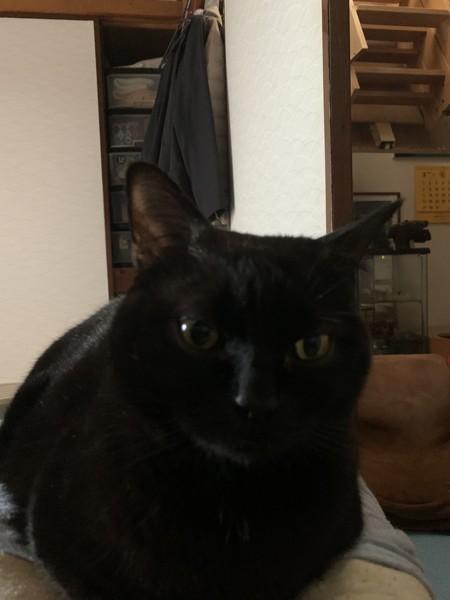 猫 マンチカン リックの写真