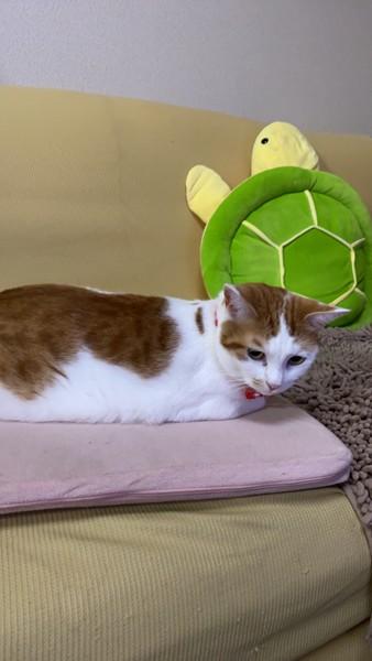 猫 雑種(ミックス) リコちゃんの写真