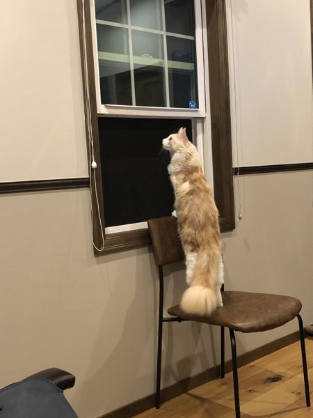 猫 メインクーン みゅうの写真