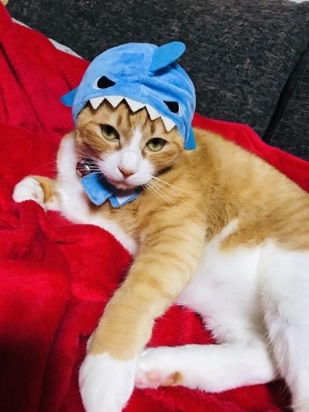 猫 茶トラ 虎雄の写真