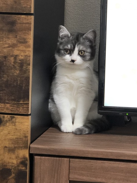 猫 スコティッシュフォールド 銀の写真