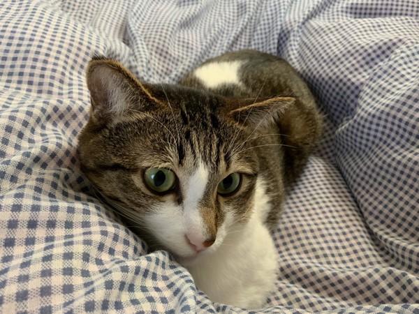 猫 キジシロ アリーの写真