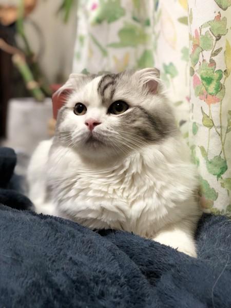 猫 スコティッシュフォールド まっしゅの写真