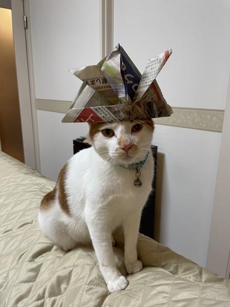 猫 雑種(ミックス) ココアの写真