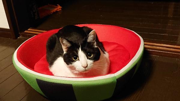 猫 雑種(ミックス) 大吉の写真