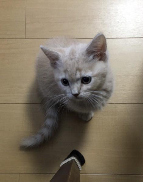猫 マンチカン れおの写真