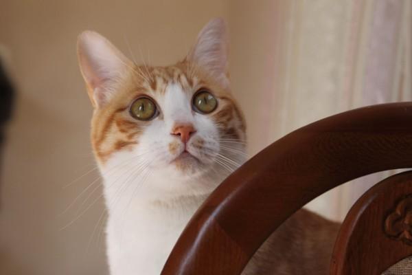 猫 茶白トラ ルル太郎の写真