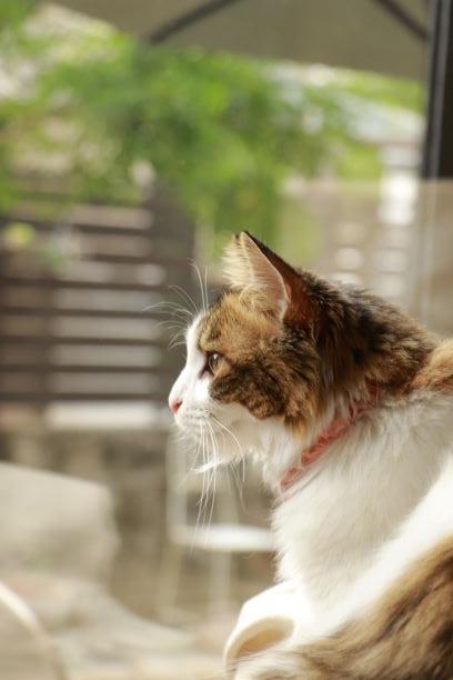 猫 雑種(ミックス) りりの写真