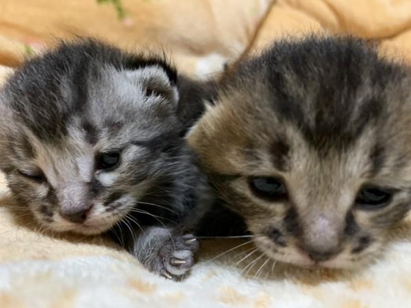 猫 アメリカンショートヘア アル&ベルの写真