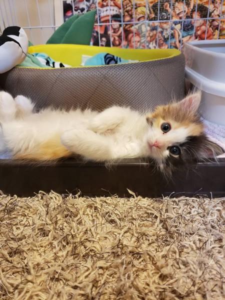 猫 メインクーン れたすの写真
