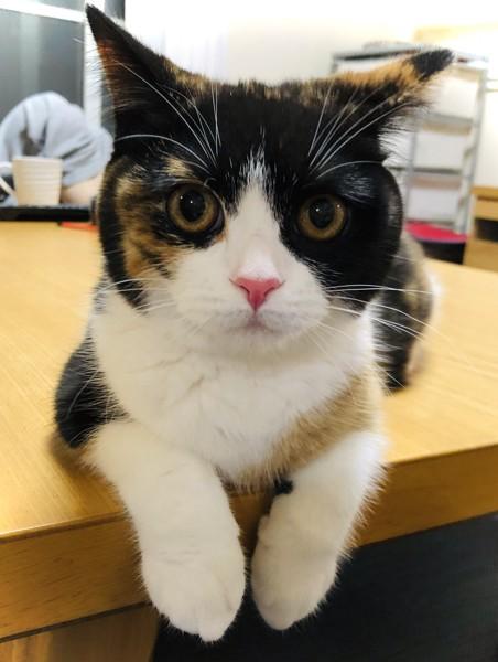 猫 スコティッシュストレート うたの写真