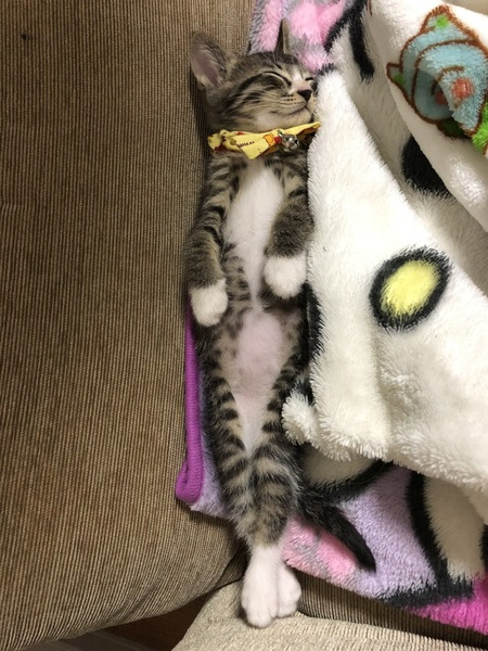 猫 雑種 シジミの写真