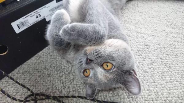 猫 ブリティッシュショートヘア チャコの写真