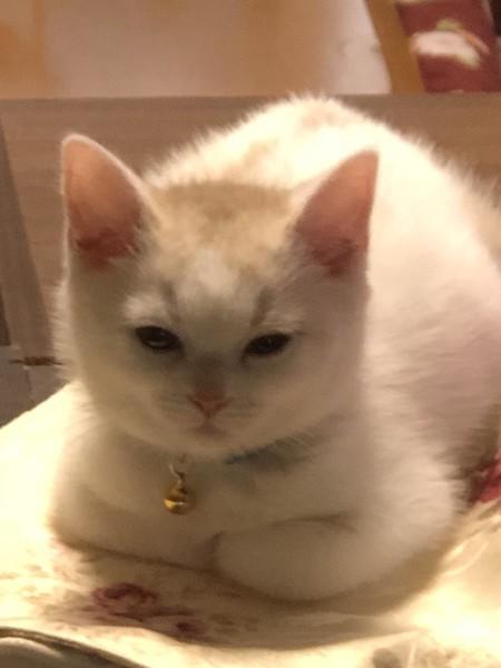 猫 スコティッシュフォールド まるくんの写真