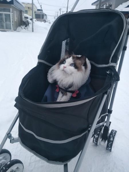 猫 ラグドール メルティの写真