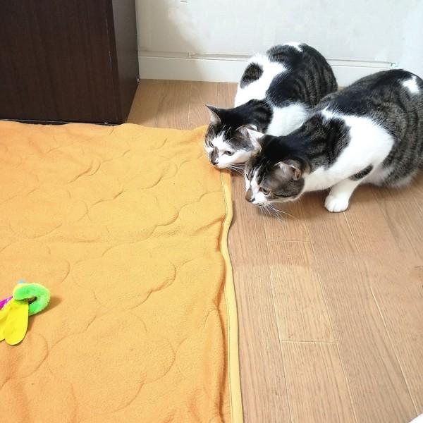 猫 キジシロ もりお&シャアの写真