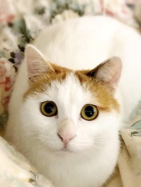 猫 雑種(ミックス) 百合ちゃんの写真