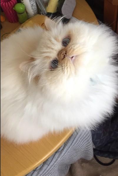 猫 白猫 のぶおの写真