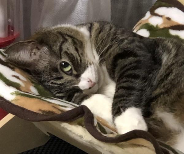 猫 キジシロ ルカの写真