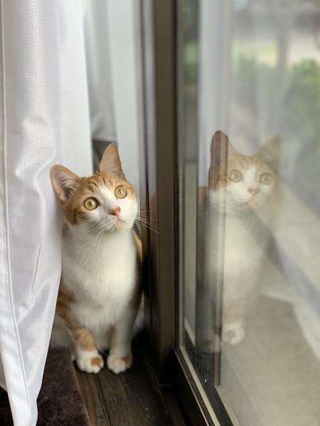 猫 茶白トラ チャッピーの写真