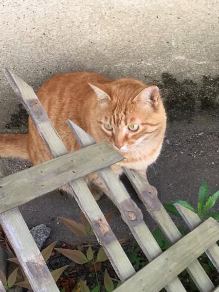 猫 茶トラ キツネの写真