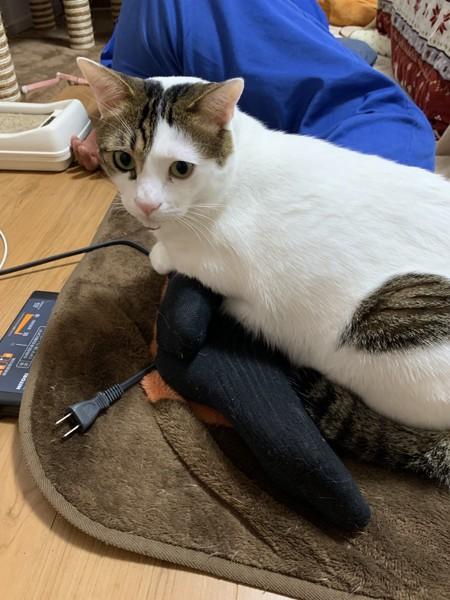 猫 キジシロ きょーの写真