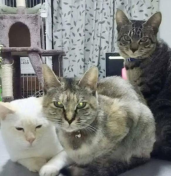 猫 雑種(ミックス) ミィちゃん🐱とくぅとチィちゃんの写真