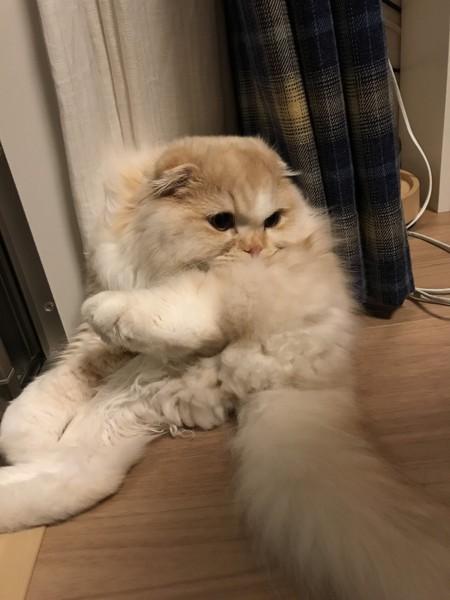 猫 スコティッシュフォールド マシュウの写真