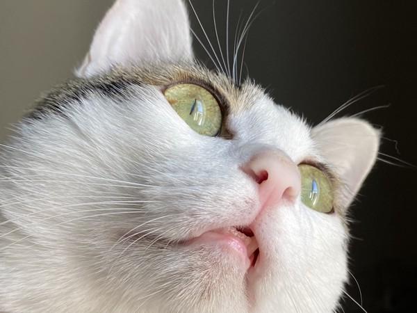 猫 キジシロ チップの写真