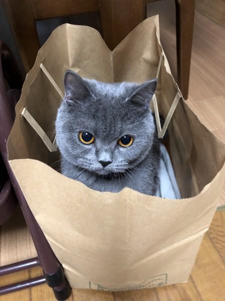 猫 ブリティッシュショートヘア ALOHAの写真