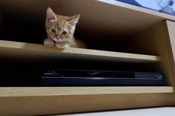 猫 マンチカン なつめの写真