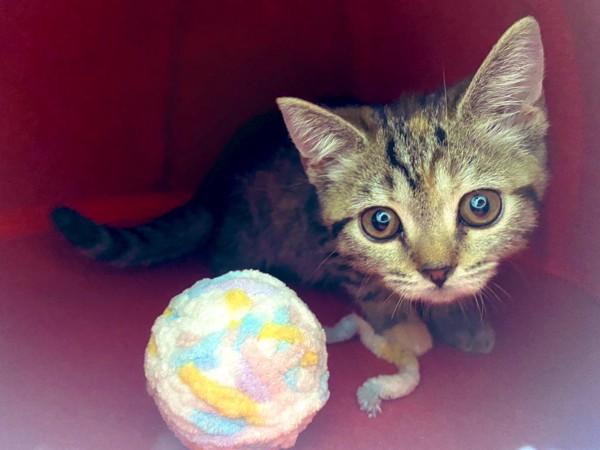 猫 スコティッシュフォールド さくらちゃんの写真