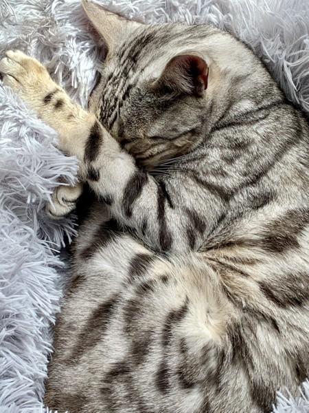 猫 ベンガル 銀の写真