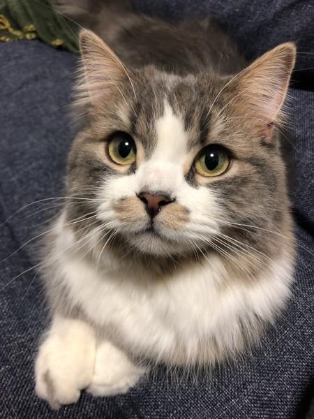 猫 ミヌエット  グラキャットの写真