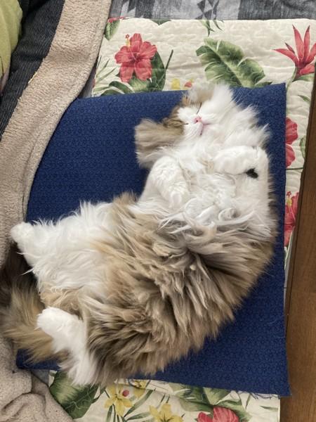 猫 スコティッシュフォールド コロの写真