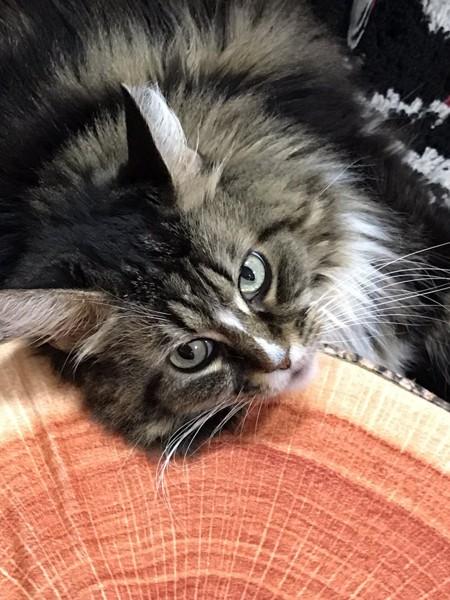猫 メインクーン めめたんの写真