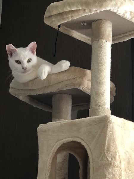 猫 白猫 ユキぽよの写真