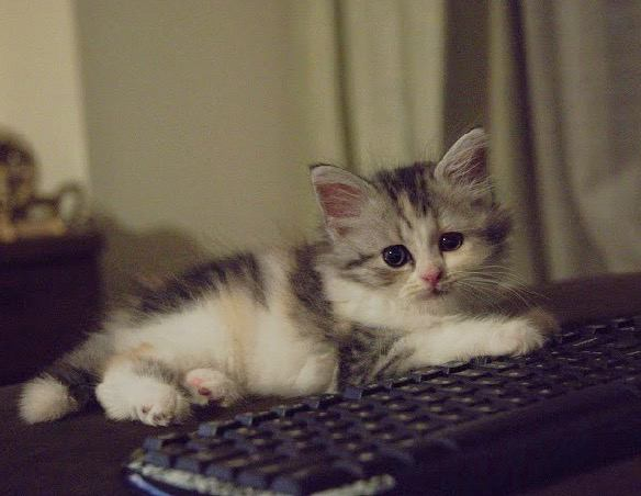 猫 スコティッシュフォールド アスペンの写真