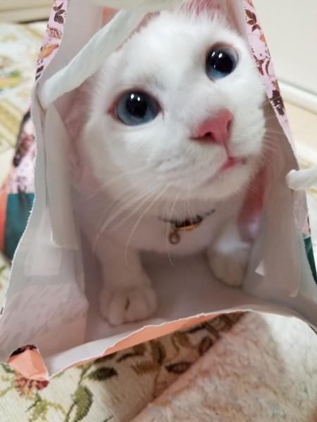 猫 白猫 ミーミ11の写真