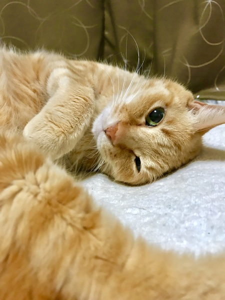 猫 茶トラ チャオの写真